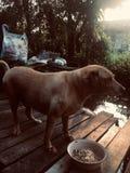 Alt ein Hund im Haus stockfotografie
