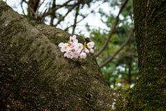 Alt und neu - kleine Kirschblüte blüht auf großem Baumstamm Lizenzfreie Stockfotos