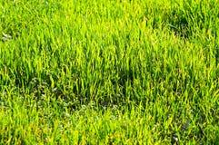 Alta area dell'erba Fotografia Stock