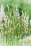 Alta bella erba verde in primavera Fotografie Stock Libere da Diritti