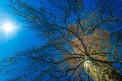 Alta betulla da sotto il sole Fotografia Stock