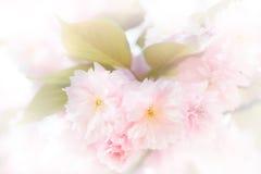 Alta chiave dei fiori giapponesi del ciliegio Fotografia Stock