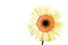 Alta chiave di un fiore della gerbera Fotografie Stock