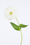 Alta chiave di zinnia bianca Fotografia Stock