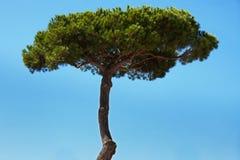 Alta conifera con fogliame verde Fotografie Stock Libere da Diritti