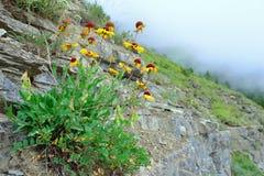 Alta crescita di fiori alpina della tundra sulla roccia Fotografia Stock Libera da Diritti