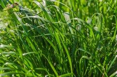 Alta ed erba verde succosa Fotografia Stock
