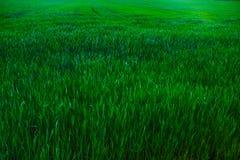 Alta erba Fotografia Stock Libera da Diritti