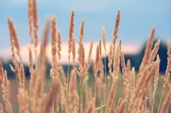 Alta erba asciutta Fotografie Stock Libere da Diritti