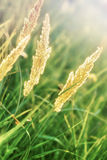 Alta erba asciutta Immagini Stock
