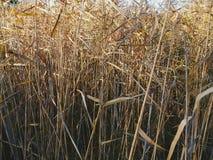 alta erba asciutta, autunno Fotografie Stock Libere da Diritti