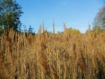 alta erba asciutta, autunno Immagine Stock Libera da Diritti