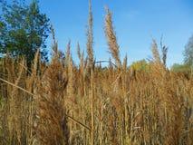 alta erba asciutta, autunno Immagini Stock Libere da Diritti