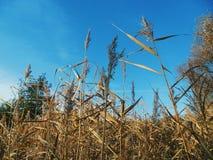alta erba asciutta, autunno Fotografia Stock