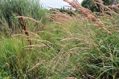 Alta erba asciutta che cresce lungo il campo Fotografia Stock