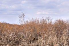 Alta erba asciutta Cielo blu Nubi bianche Fotografie Stock