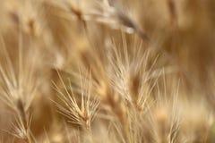Alta erba asciutta del primo piano Immagine Stock Libera da Diritti