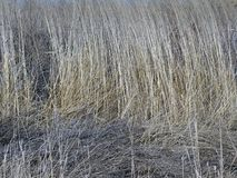 Alta erba asciutta nel campo Immagine Stock