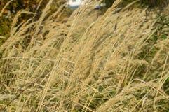 Alta erba asciutta nel pomeriggio Immagini Stock Libere da Diritti
