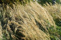 Alta erba asciutta nel vento di pomeriggio Immagine Stock Libera da Diritti