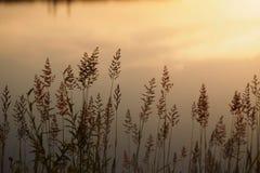 Alta erba attraverso il sole sul lago all'alba Fotografia Stock