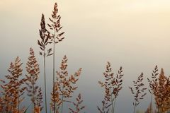 Alta erba attraverso il sole sul lago all'alba Fotografia Stock Libera da Diritti