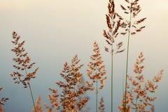 Alta erba attraverso il sole sul lago all'alba Immagine Stock Libera da Diritti