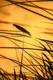 Alta erba che soffia nel vento al tramonto Fotografie Stock Libere da Diritti