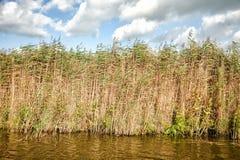 Alta erba densa nell'acqua contro un cielo blu Fotografie Stock