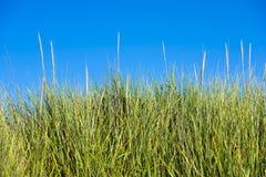Alta erba elastica fertile verde dei gambi sul fondo del cielo Immagine Stock