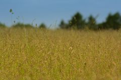 Alta erba gialla con gli alberi forestali verdi nei precedenti Immagini Stock Libere da Diritti