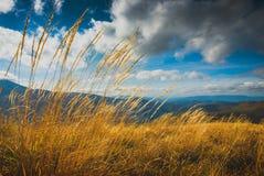 Alta erba gialla su un vento Fotografia Stock