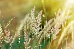 Alta erba illuminata da luce solare Immagini Stock