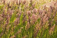 Alta erba nel campo Fotografia Stock Libera da Diritti