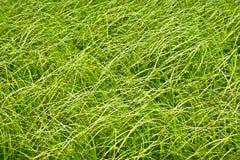 Alta erba opaca sul prato paludoso Fotografia Stock Libera da Diritti