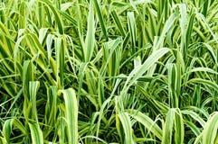 Alta erba ornamentale Immagine Stock Libera da Diritti