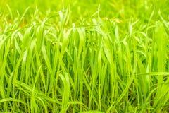 Alta erba simile a pelliccia verde Immagini Stock Libere da Diritti