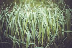 Alta erba simile a pelliccia verde Fotografia Stock