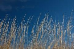 Alta erba su vento a cielo blu Fotografie Stock Libere da Diritti