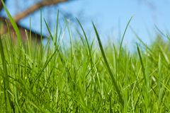 Alta erba sul cortile Immagini Stock