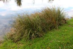Alta erba sulla sponda del fiume Immagine Stock