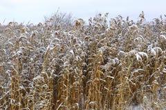 Alta erba in un settore coperto in neve fresca Fotografie Stock Libere da Diritti
