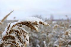Alta erba in un settore coperto in neve fresca Immagini Stock