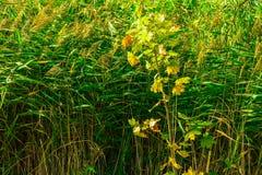 Alta erba variopinta e giovane albero di acero Immagine Stock