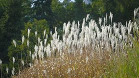 Alta erba in vento Colpo laterale al tramonto Sfondo naturale con atmosfera vaga stock footage