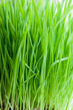 Alta erba verde Fotografie Stock Libere da Diritti