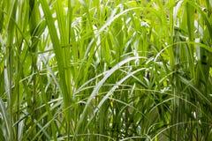 Alta erba verde Immagine Stock