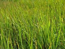 Alta erba verde carice Immagine Stock