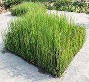 Alta erba verde carice Immagini Stock