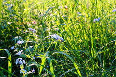 Alta erba verde con i wildflowers Immagine Stock Libera da Diritti